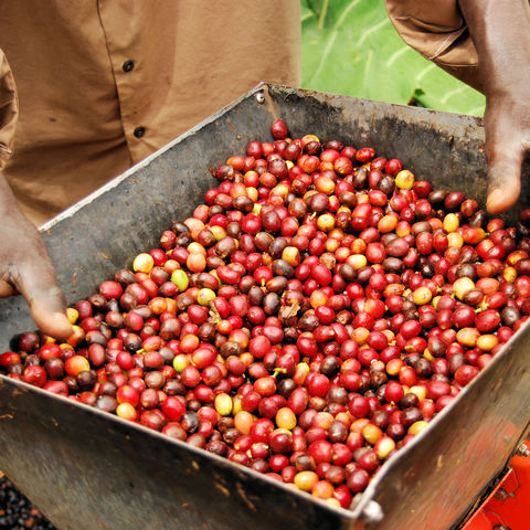 Allein vom Anblick steigt der Duft in die Nase: (noch) ungeröstete Arabica Kaffeebohnen, Uganda