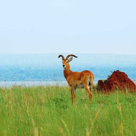 Reedbuck Antilope im Murchison Falls NP, Uganda