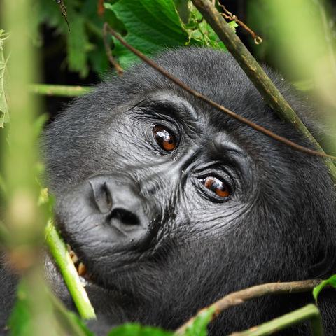 Weiblicher Berggorilla im dichten Regenwald, Uganda