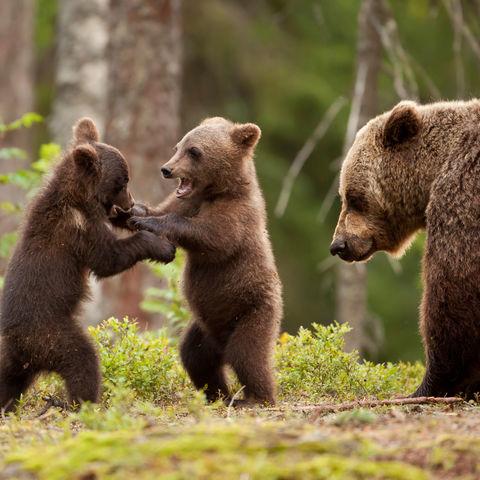 Bärenmutter passt auf ihre spielenden Jungen auf, Alaska