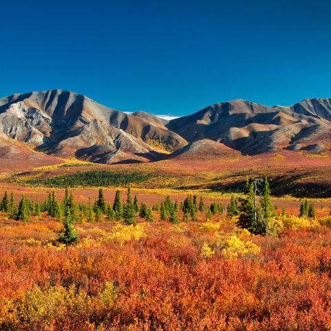 Herbstlicher Farbrausch im Denali Nationalpark, Alaska