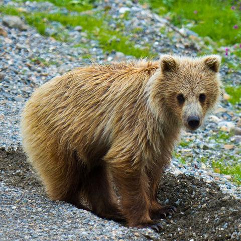 Junger Grizzlybär im Denali Nationalpark, Alaska