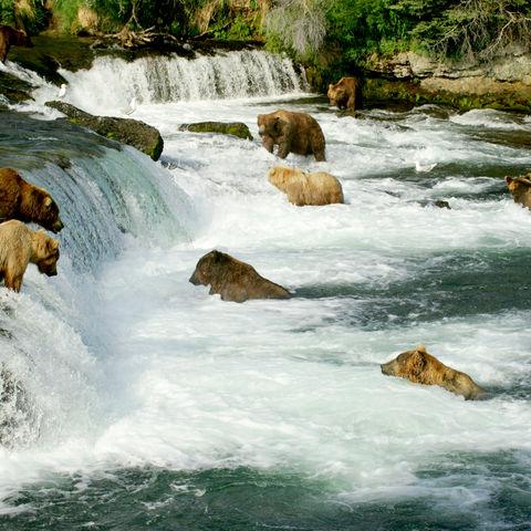 Grizzlybären beim Lachsfang im Katmai-Nationalpark, Alaska