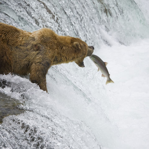 Braunbär fängt einen Lachs, Alaska