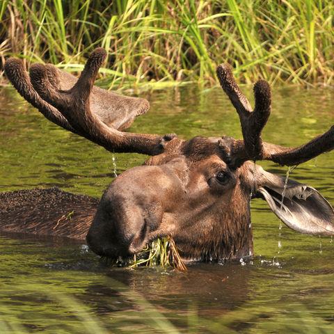 Elchbulle im Wasser, Alaska