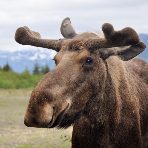 Elch aus der Nähe, Alaska