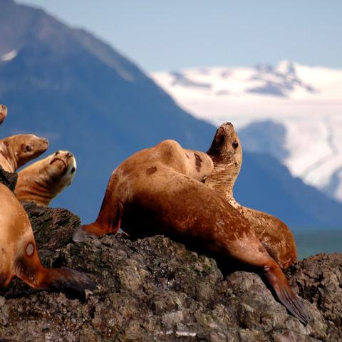 Gruppe von Seelöwen, Alaska