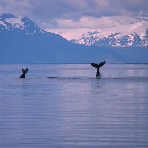 Keine Seltenheit vor Alaskas Küste: Walflossen vor schneebedeckten Bergen, Alaska