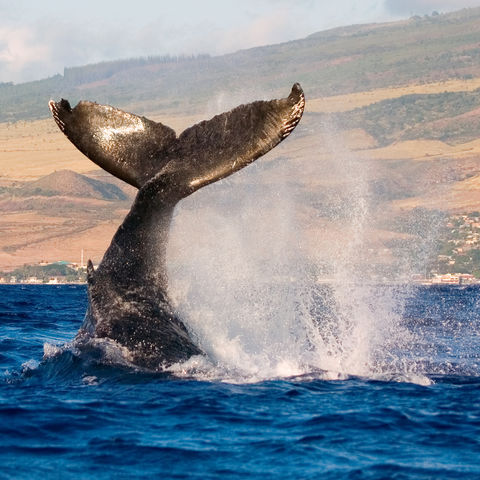 Flosse eines Buckelwals, Hawaii