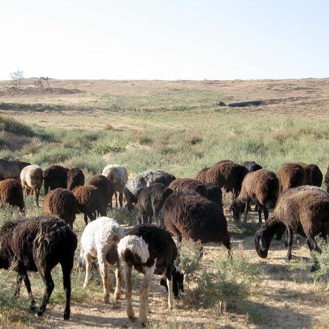 Schafe in der Hungersteppe zwischen Samarkand und Taschkent, Usbekistan