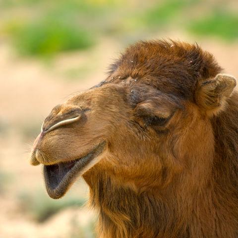 Entspanntes Kamel © Thinkstock, Hemera