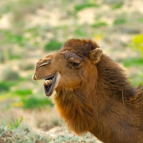 Kamel in der Wüste, Usbekistan