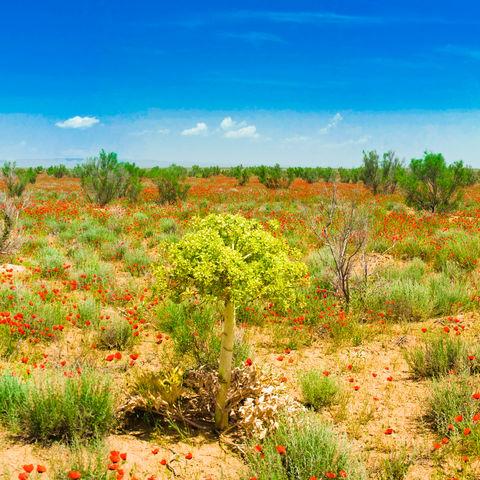 "Die ""rote"" Kisilkum-Wüste, Usbekistan"