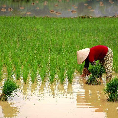 Feldarbeit in Nordvietnam, Vietnam