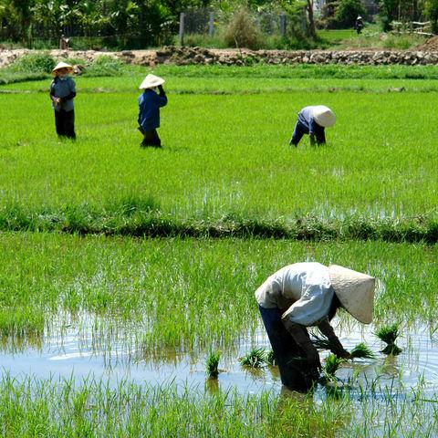 Arbeiter auf einem Reisfeld, Vietnam