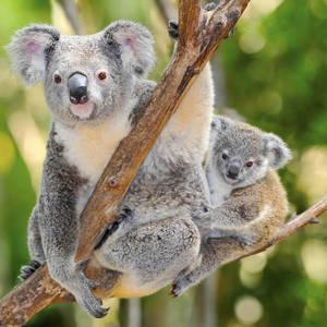 Koala mit Baby im Eukalyptusbaum © Thinkstock, iStockphoto