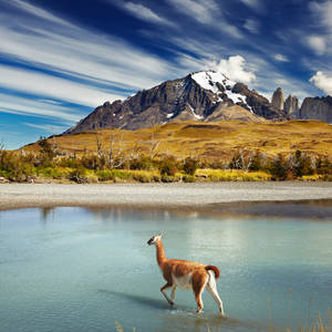 Guanako im Torres del Paine Nationalpark © Dmitry Pichugin, Dreamstime.com