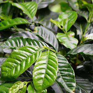 Kaffeepflanze © Ekrystia, Dreamstime.com