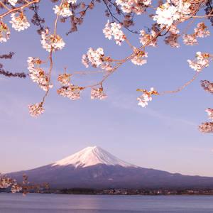 Japanische Kirschblüte vor dem Berg Fuji © Willy Setiadi, Dreamstime.com