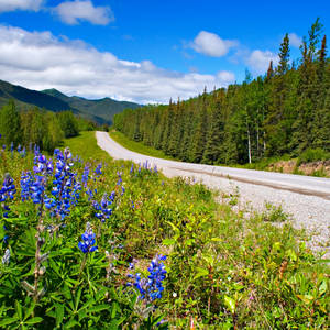 Blumen am Alaska Highway © Jason Kasumovic, Dreamstime.com