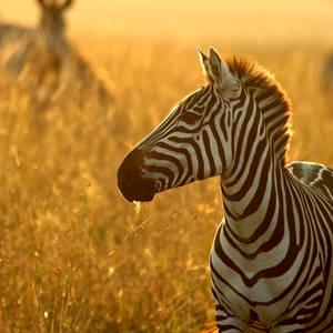 Zebra im Masai-Mara-Nationalpark © Sekernas, Dreamstime.com
