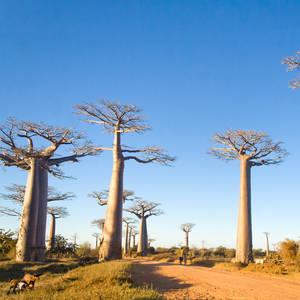 Sonnige Baobaballee © Pierivb, Dreamstime.com
