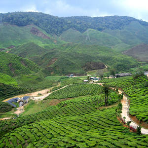 Teeplantagen in den Cameron Highlands © Thinkstock, iStockphoto