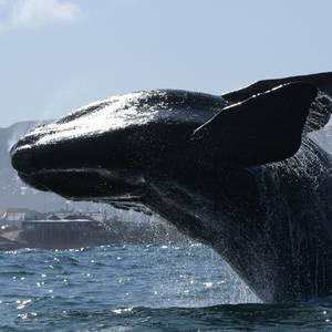 Ein majestätischer Wal and der Küste von Hermanus © Ken Moore, Dreamstime.com