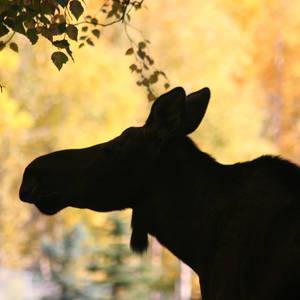 Silhouette einer Elchkuh zur Herbstzeit © Mesquite53, Dreamstime.com